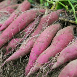 【ふるさと納税】掘りたてさつまいも3kg 野菜 きんとき芋 送料無料 <RK058> 画像1