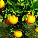 【ふるさと納税】 ポンカン 立目ぽんかん贈答用特上品 5kg 柑橘 果樹 贈答品 高知県 須崎市