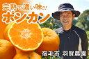 【ふるさと納税】甘くて濃い味がたまらない!羽賀農園の完熟ポンカン(4kg)