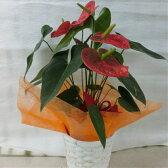 【ふるさと納税】暮らしに花とみどりを届ける野市グリーンのアンスリューム3本〜5本花鉢