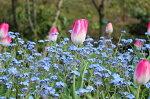 忘れな草とチューリップ花壇