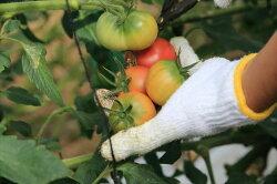 【ふるさと納税】水田さんのまっことうまいトマト 約2kg【高知県産 トマト フルーツトマト】 画像1