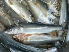 鮎屋仁淀川の友釣り天然鮎500g