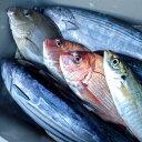 【ふるさと納税】朝獲れ!1000種類の魚種がいる大月の鮮魚便