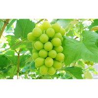 【ふるさと納税】【期間限定】地元産の果物「種なしシャインマスカット」