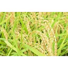 直播き有機農法フタエさんのお米