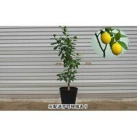 【ふるさと納税】レモンの木鉢植え(黒プラスティック鉢?27cm)※配送不可:北海道、沖縄、離島【苗木?れもん】