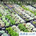 【ふるさと納税】多肉植物寄せ植え28種類おまかせセット