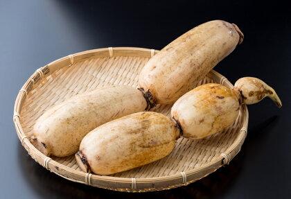 畑から直送!新鮮レンコン(1.5kg-2kg)
