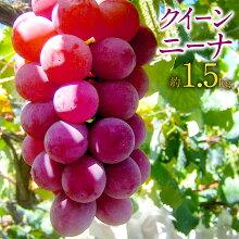 【ふるさと納税】クイーンニーナ約1.5kg葡萄ブドウぶどうフルーツ果物果実ギフト送料無料