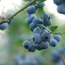 【ふるさと納税】山都町産生果ブルーベリー6個セット(125g...