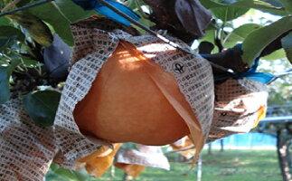 【ふるさと納税】清流錦梨【5kg】 【梨・ナシ・果物・フルーツ】 お届け:2020年8月上旬〜11月中旬