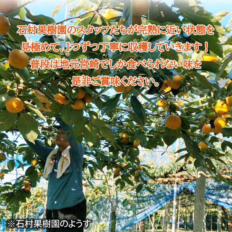 【ふるさと納税】<予約受付>石村果樹園陽豊柿ようほうがき4.5kg前後柿かきカキ国産果物フルーツ数量限定送料無料※2020年11月中旬頃から収穫次第順次出荷予定