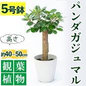 【ふるさと納税】パンダガジュマル6号サイズ【前園植物園】【1018121】