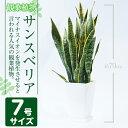 【ふるさと納税】<8月以降発送予定>サンスベリア・ローレンティー7号サイズ(約70cm)南国鹿児島で育った観葉植物【GreenBase】
