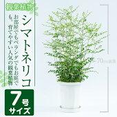 【ふるさと納税】シマトネリコ7号サイズ(約80cm)指宿の観葉植物!部屋でもお庭でもベランダでも育てやすい人気の常緑樹!シンボルツリーに【GreenBase】【1067985】