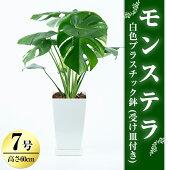 【ふるさと納税】観葉植物「モンステラ7号サイズ」白色プラスチック鉢(受け皿付き)【緑の中道】