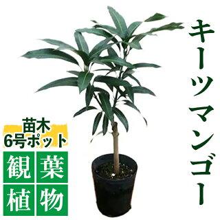 キーツマンゴー観葉植物