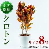 【ふるさと納税】5色の色彩が美しい!おしゃれで大人気の観葉植物「クロトン8号ホワイト鉢」育て方を記載したオリジナルカード付【トロピカルフルーツ&プランツ】