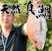 日置の特選鮮魚(天然真鯛)