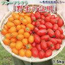 【ふるさと納税】亜熱帯トマト「野生の証明」<化粧箱入/ギフト向け>