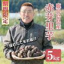 【ふるさと納税】《期間限定》鹿児島県さつま町産 赤芽里芋(5kg)採れたて旬の里いもをお届けします【か...