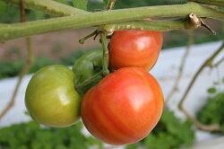 【ふるさと納税】先行受付『喜界島トマト』バガス醗酵有機肥料使用栽培 2kg(10〜14玉入り) 画像1
