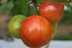 【ふるさと納税】先行受付『喜界島トマト』バガス醗酵有機肥料使用栽培 2kg(10〜14玉入り) 画像2