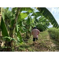 【ふるさと納税】貞さんの島バナナ3kg