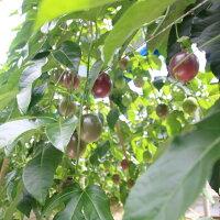 【ふるさと納税】富山農園の自宅用パッションフルーツ6kg