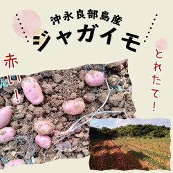 【ふるさと納税】36-01 沖永良部島産 とれたての赤いジャガイモ 画像2