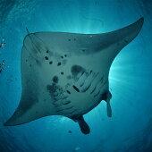 YD-2体験ダイビング利用券石垣島のマンタ・サンゴ・ウミガメに会いに行こう