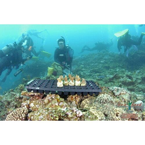 【ふるさと納税】【SeaSeed】養殖サンゴ1...の紹介画像3