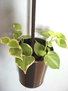 ミニ観葉植物 ペペロミア ハンギングポット ブラウン癒しの観葉植物 インテリアグリーン 観葉植物 おしゃれ かわいい インテリア ギフト プレゼント かっこいい 吊り