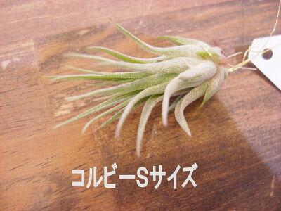着生植物 エアープランツ チランジア イオナンタ コルビー Sサイズ癒しの観葉植物 観葉植物 インテリア 観葉植物 おしゃれ インテリアグリーン