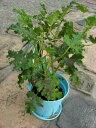芳香が楽しめる、丈夫で育てやすいゼラニウム。鉢花 ハーブゼラニウム(センテッドゼラニウム...