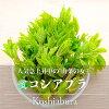 コシアブラ・こしあぶら(山菜)
