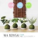 【ポイント10倍】Wa Bonsai・和