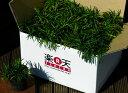 タマリュウ24個セット【庭木 低木 玉竜 グランドカバーの定番】