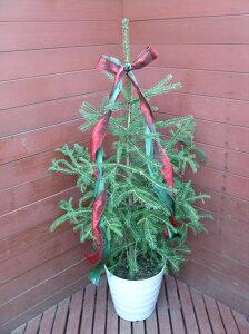 チクチクしない葉質です!クリスマスツリーに!カナダトウヒ白い鉢入り!!(リボン付き)【ク...