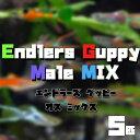 (熱帯魚 生体)エンドラーズ グッピー ミックス  オス 外国産 (約2-2.5cm)(5匹)【水槽 ...