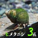 (貝)ヒメタニシ(-cm)(3匹)【水槽/熱帯魚/観賞魚/飼育】【生体】【通販/販売】【アクアリウム ...