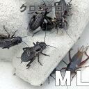 お取り寄せ(3−4営業日) 餌昆虫  黒コオロギ(クロコオロギ) MLサイズ 200匹+  代引き不可 冬季航空便地域発送不可 活餌 爬虫類 両生類 小動物
