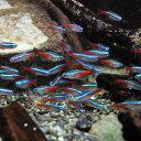 (熱帯魚 生体)( オススメ)ネオンテトラ SMサイズ(約1.5-2cm)(100匹)【水槽/熱帯魚 ...