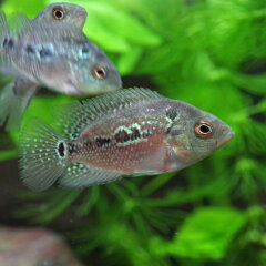 (GO!GO!SALE)(熱帯魚)★★フラワーホーン(花羅漢) (約3cm)<1匹> 【水槽/…