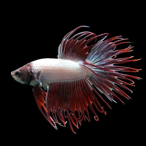 (スプリングセール)(熱帯魚生体)ベタクラウンテールオス(色おまかせ)(約4cm)(1匹)