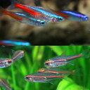 (熱帯魚 生体)ネオンテトラ SMサイズ(約2cm) (12匹) + グローライトテトラ(約2cm) ...