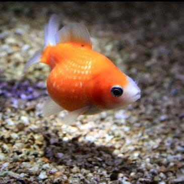 (金魚 生体)ピンポンパール(約2-3cm)(1匹)【水槽/熱帯魚/観賞魚/飼育】【生体】【通販/販売】【アクアリウム/あくありうむ】