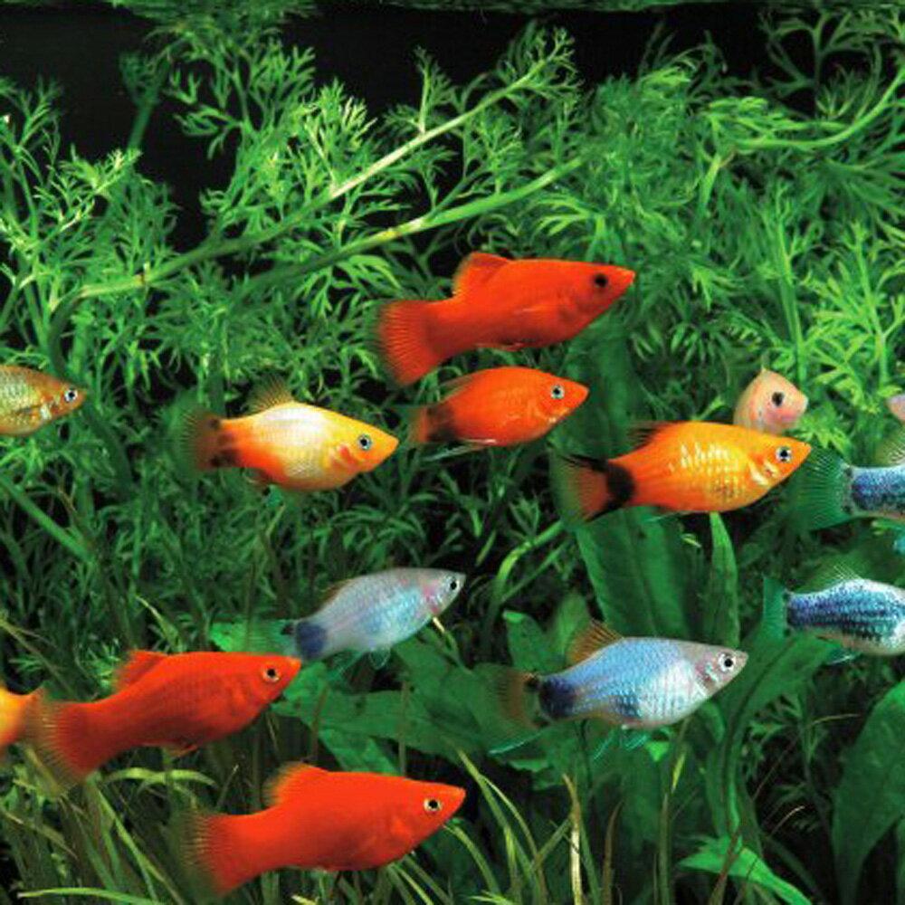 (熱帯魚)( オススメ)ミックスプラティ (雌雄指定、種類指定不可)(約3-3.5cm)(100匹)【水槽/熱帯魚/観賞魚/飼育】【生体】【通販/販売】【アクアリウム】