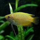 (熱帯魚)ゴールデンハニードワーフグラミー(約4cm)<3匹>【水槽/熱帯魚/観賞魚/飼育】【生体】【通販/販売】【アクアリウム】